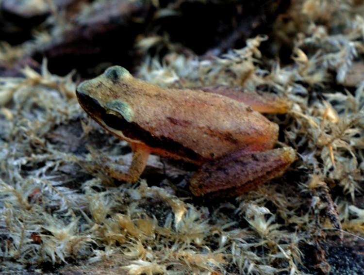 Little Grass Frog