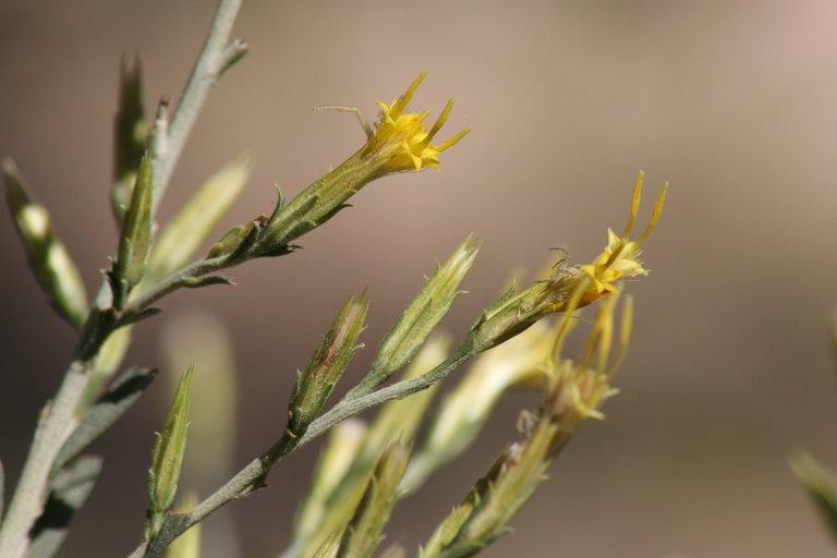 Ericameria parryi var. latior