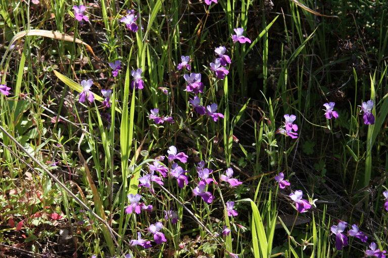 Collinsia sparsiflora var. arvensis