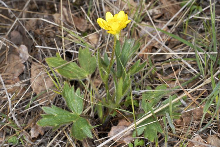 Ranunculus californicus var. californicus