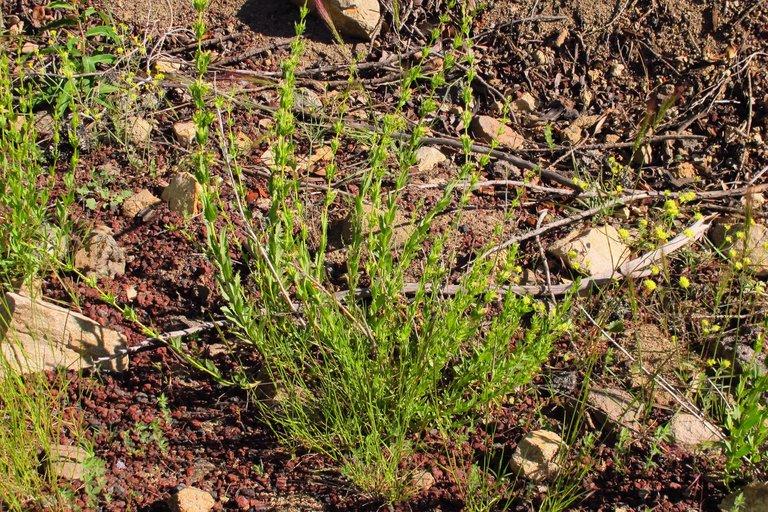Penstemon deustus var. suffrutescens