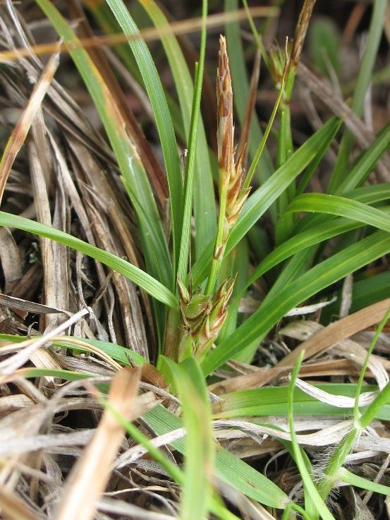 Carex brevicaulis
