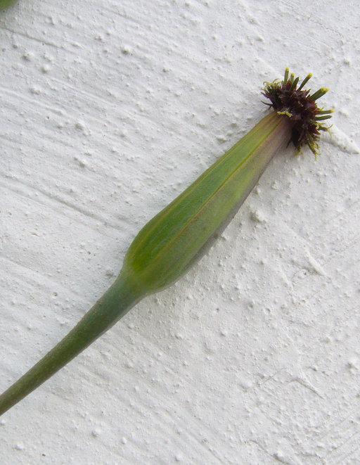 Porophyllum ruderale var. macrocephalum