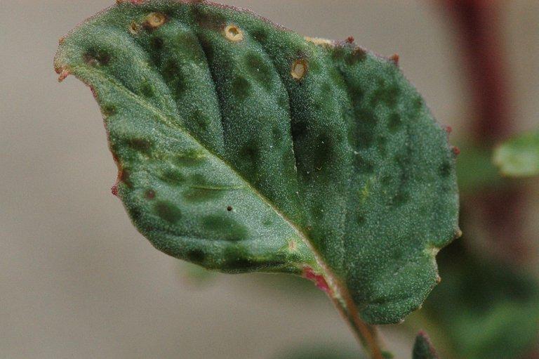 Chylismia claviformis ssp. integrior