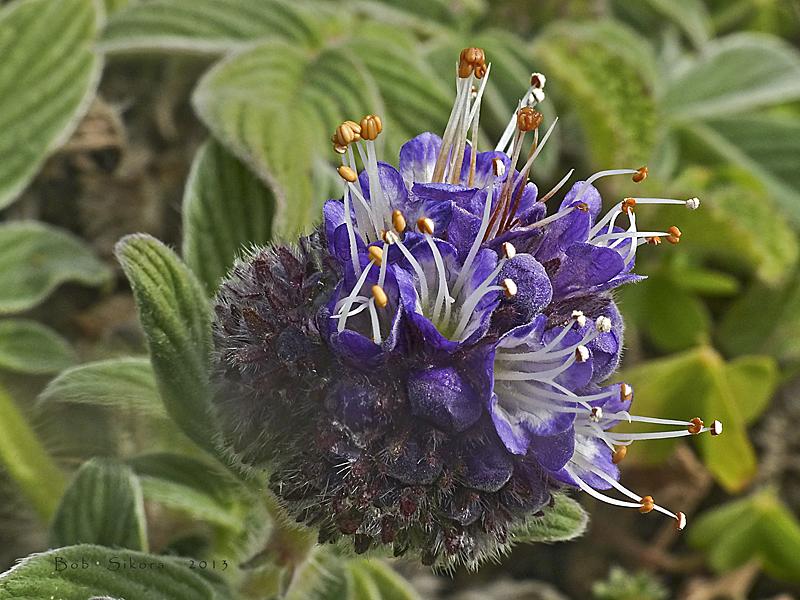 Phacelia californica