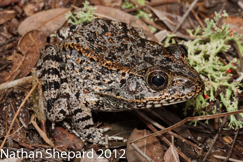 Florida Gopher Frog