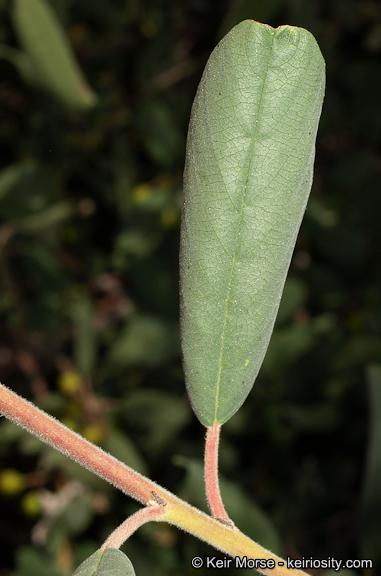 Frangula californica ssp. tomentella