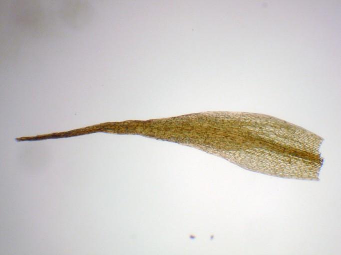 Pleuridium acuminatum