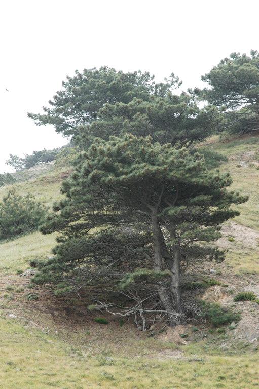 Pinus torreyana ssp. insularis