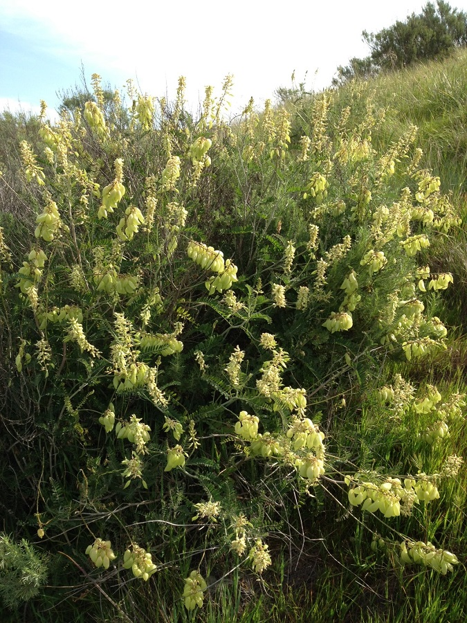 Astragalus trichopodus var. lonchus