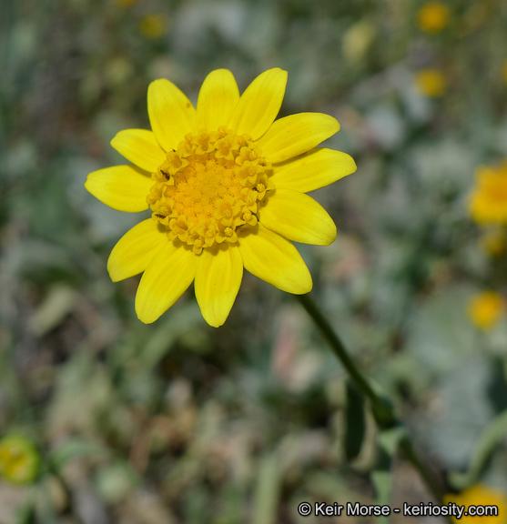 Lasthenia glabrata ssp. coulteri