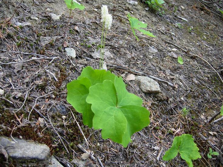 Achlys triphylla ssp. triphylla