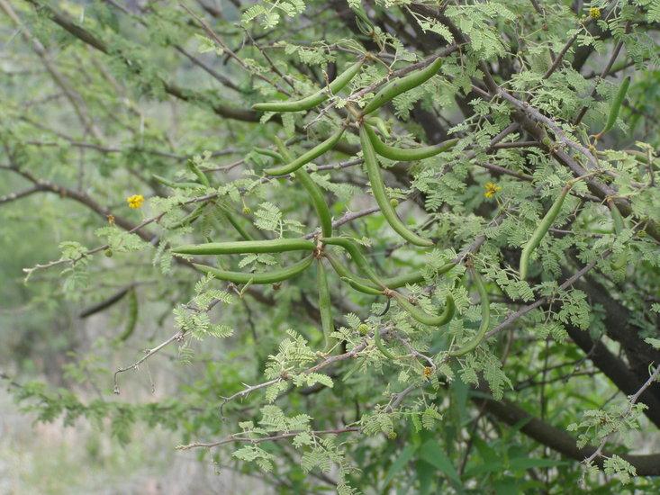 Vachellia farnesiana