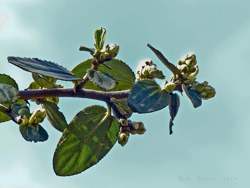Ceanothus oliganthus var. sorediatus