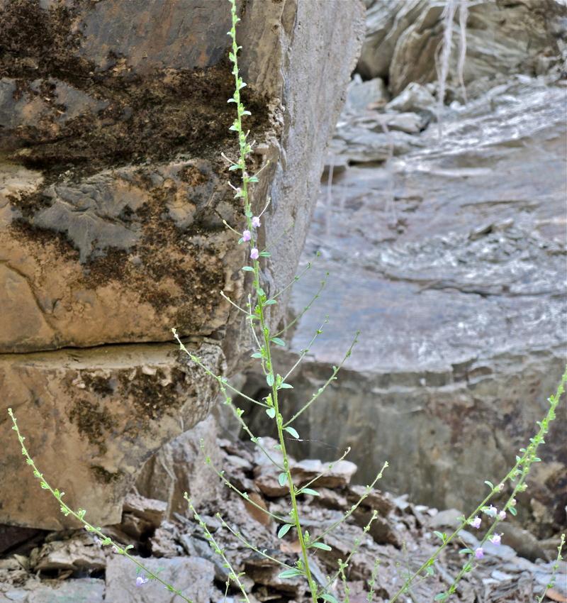 Antirrhinum vexillocalyculatum ssp. intermedium