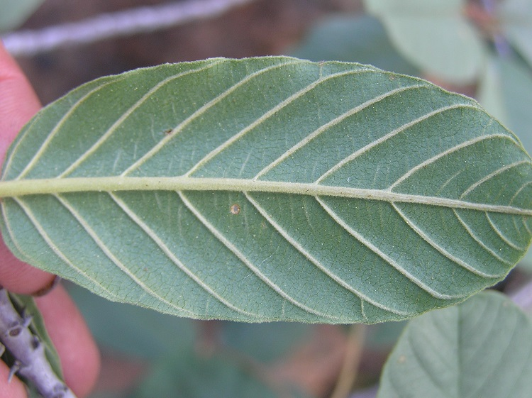 Frangula purshiana ssp. ultramafica