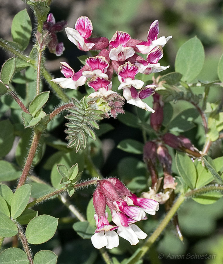 Hosackia stipularis var. stipularis