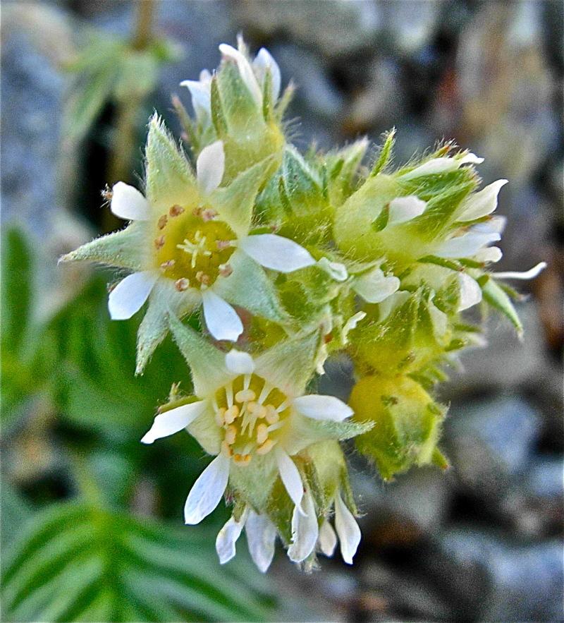 Horkelia tridentata var. flavescens