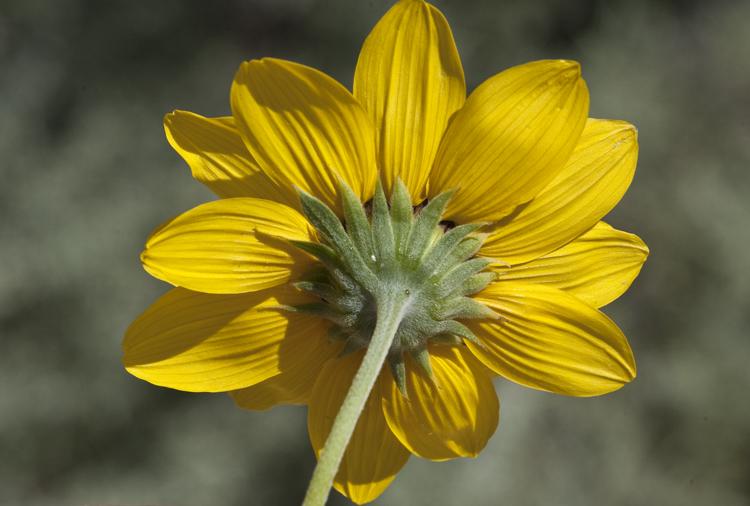 Helianthus petiolaris ssp. petiolaris