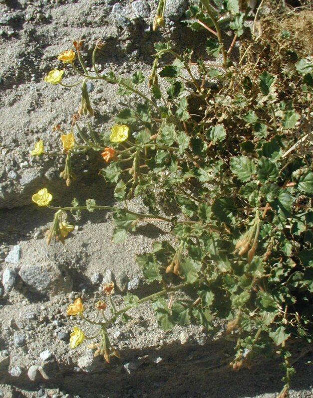 Chylismia cardiophylla ssp. robusta