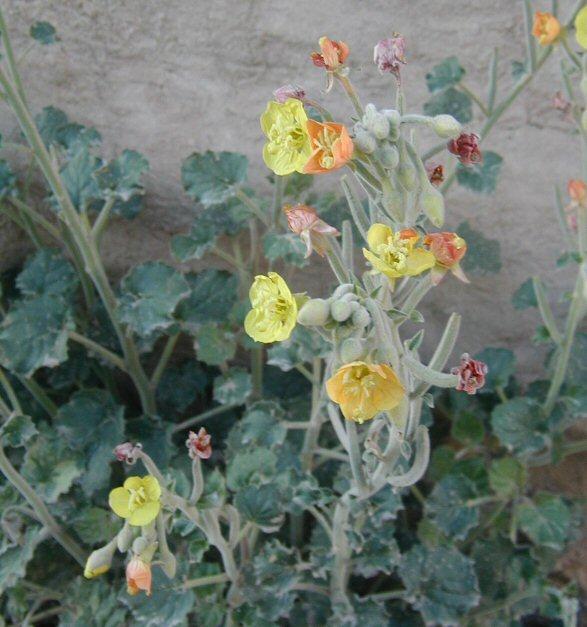Camissonia cardiophylla ssp. cardiophylla