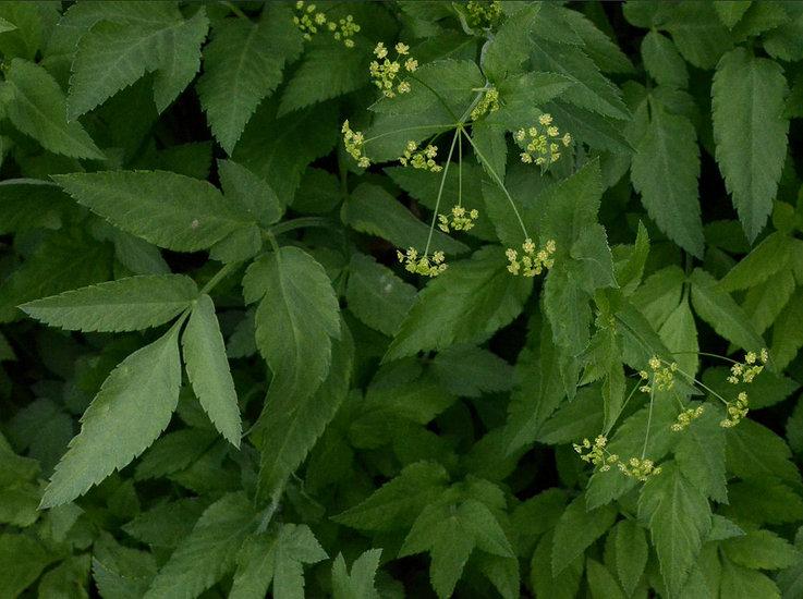 Osmorhiza occidentalis