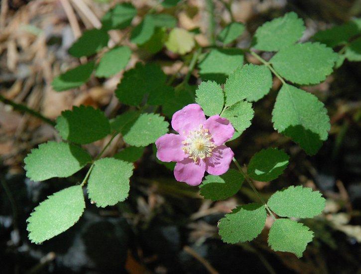 Rosa gymnocarpa var. gymnocarpa