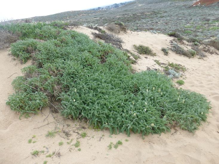 Astragalus nuttallii var. virgatus