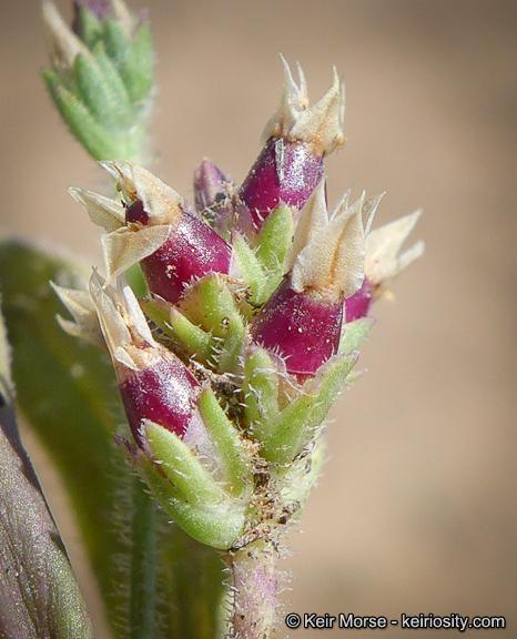 Plantago rhodosperma