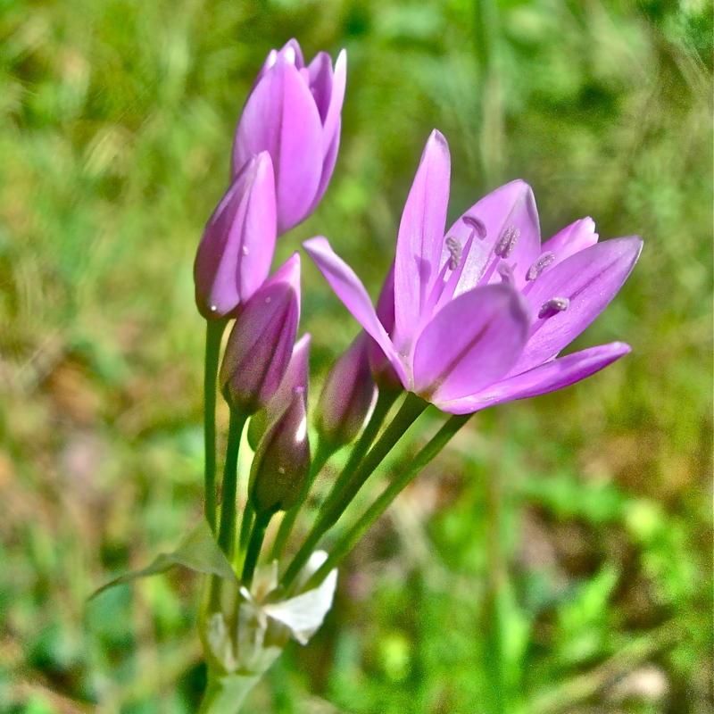 Allium unifolium