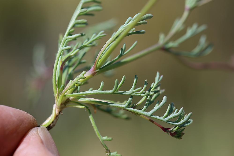 Gilia ochroleuca ssp. ochroleuca