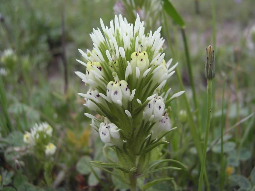 Castilleja densiflora var. obispoensis