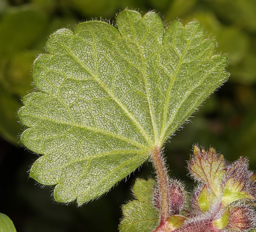 Sidalcea malviflora ssp. rostrata