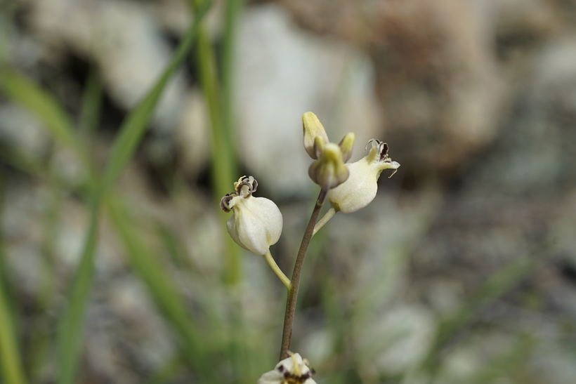 Caulanthus amplexicaulis var. barbarae