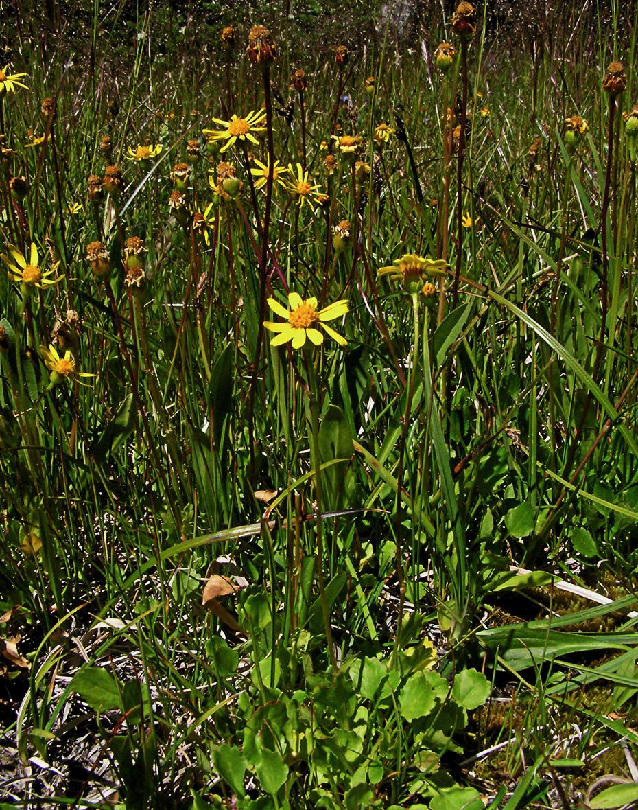 Packera streptanthifolia var. streptanthifolia