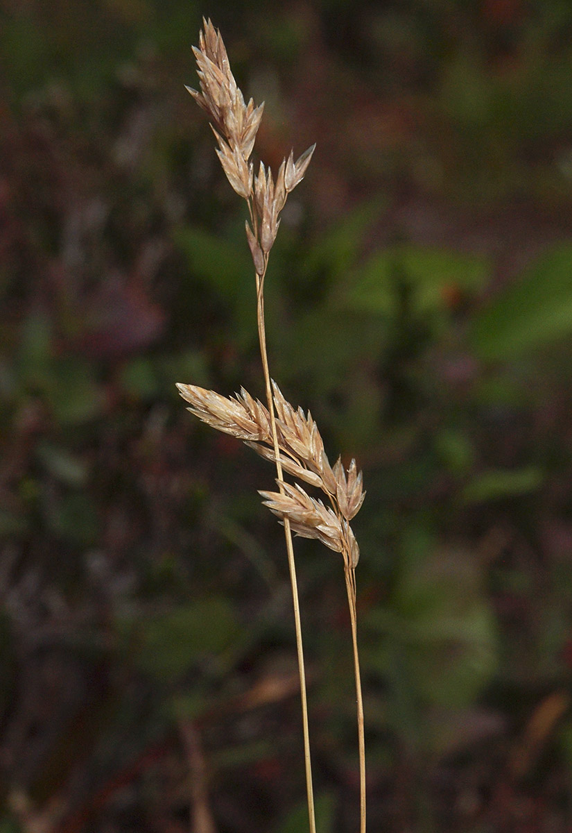 Poa cusickii ssp. epilis
