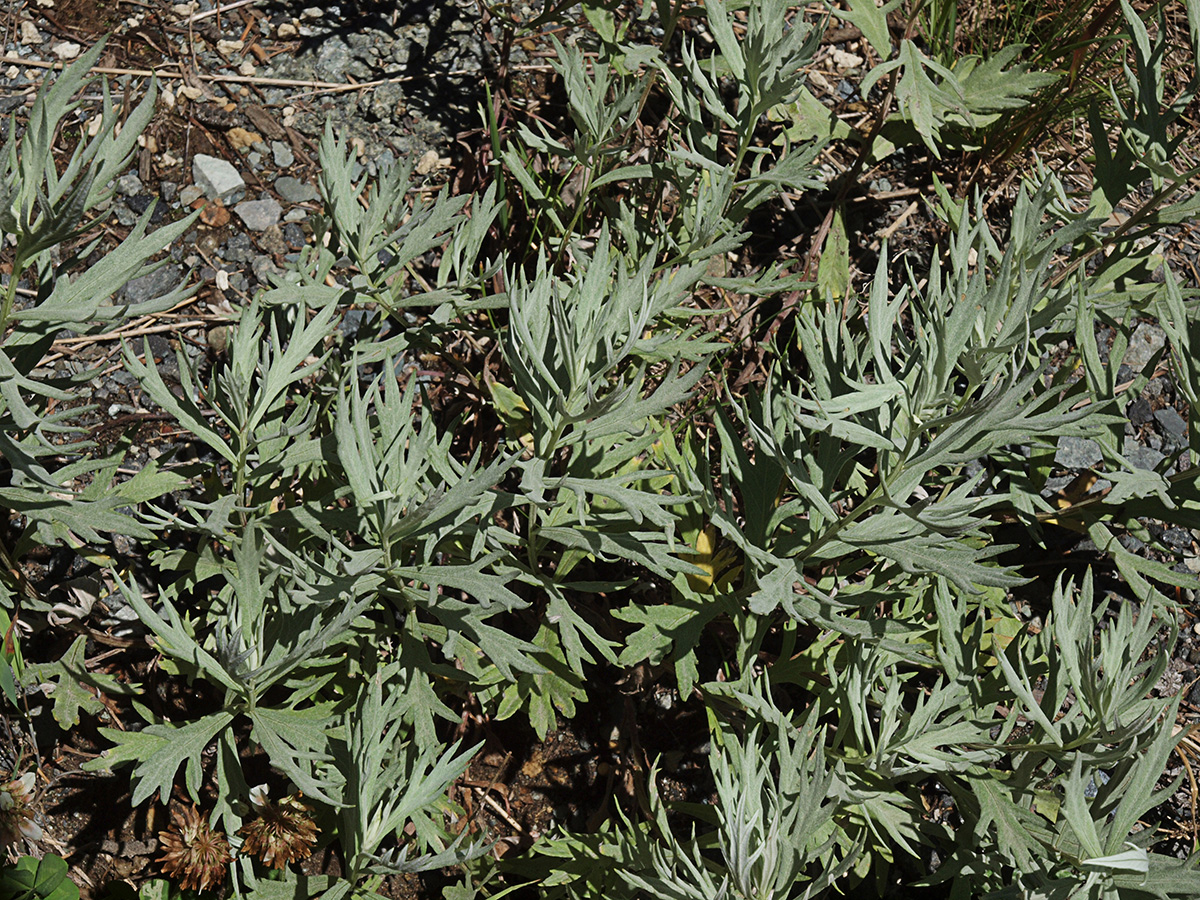 Artemisia ludoviciana ssp. candicans