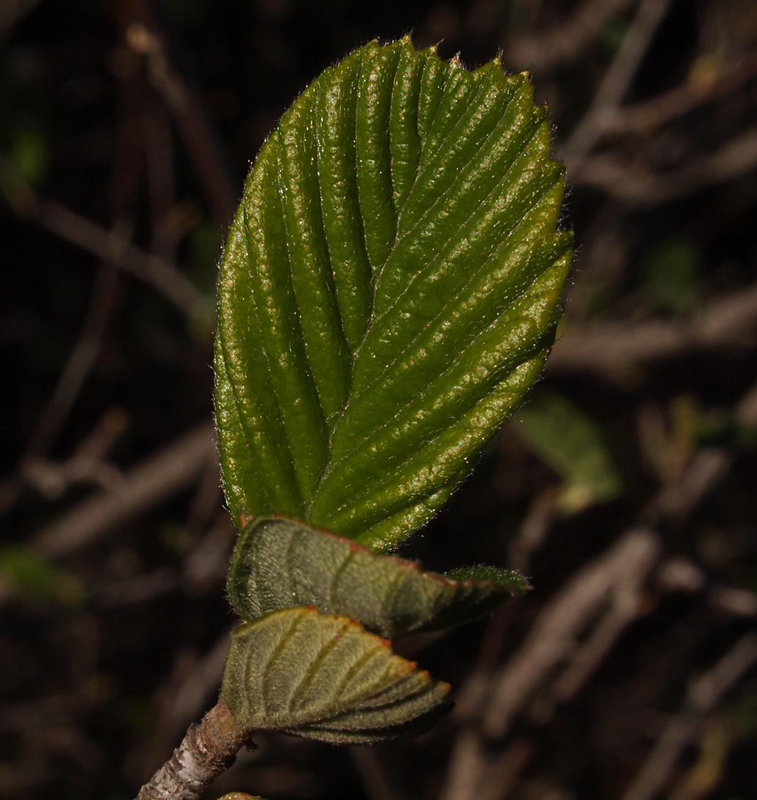Calphotos Cercocarpus Traskiae Catalina Island Mountain Mahogany