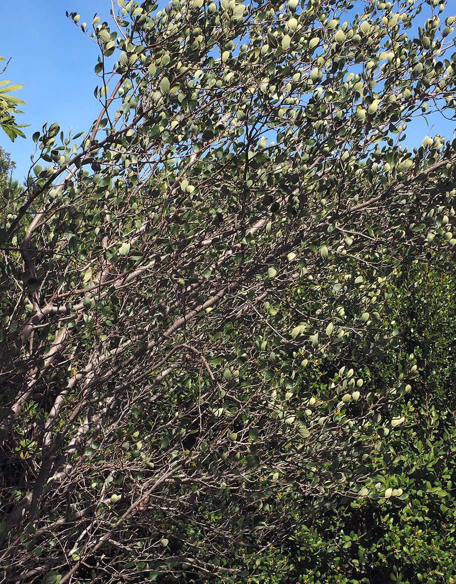Cercocarpus Traskiae Calflora