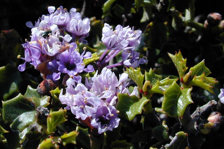 Ceanothus jepsonii