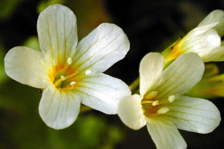 Romanzoffia californica