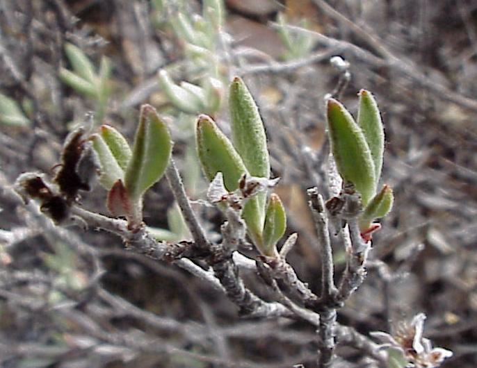 Eriogonum butterworthianum