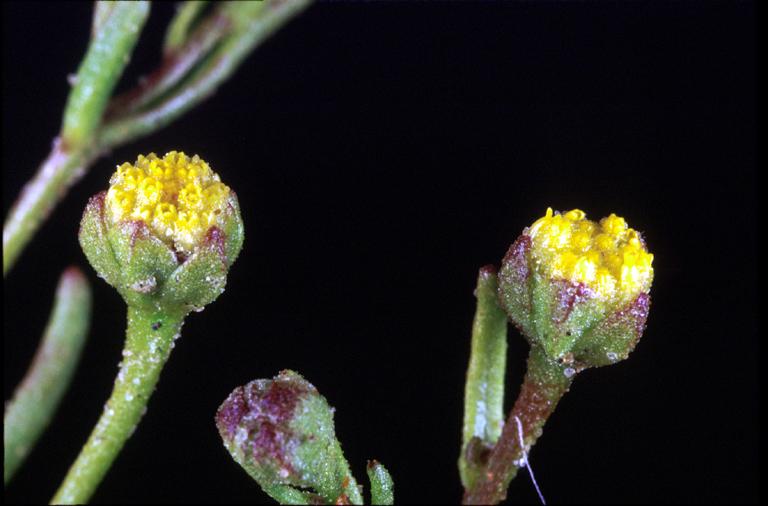 Amblyopappus pusillus
