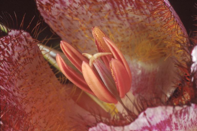 Calochortus fimbriatus