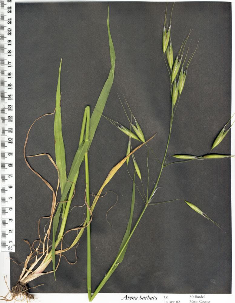 Avena occidentalis