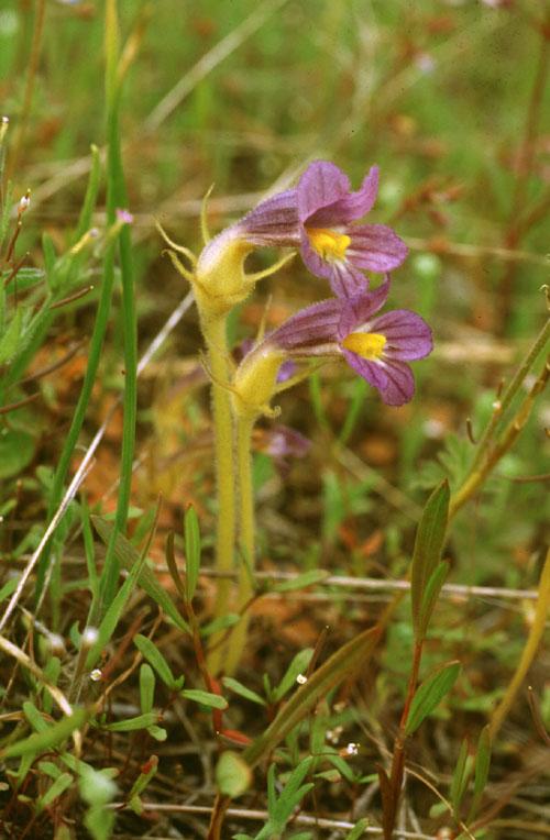 Orobanche uniflora var. purpurea