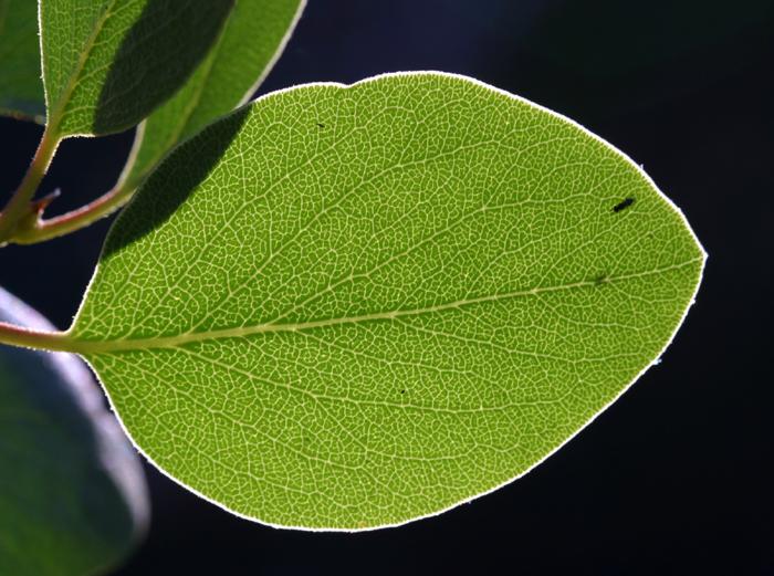 Arctostaphylos patula