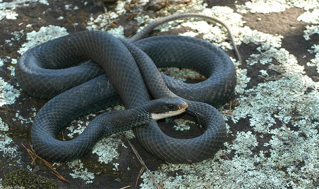 Calphotos Coluber Constrictor Constrictor Northern Black