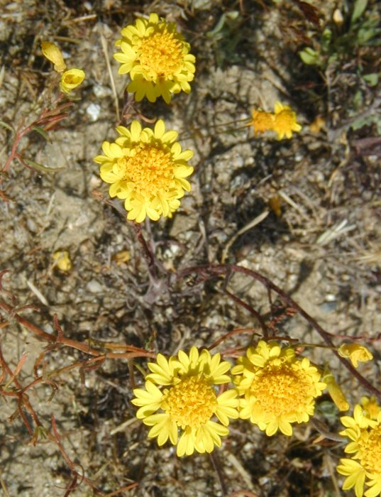Chaenactis glabriuscula