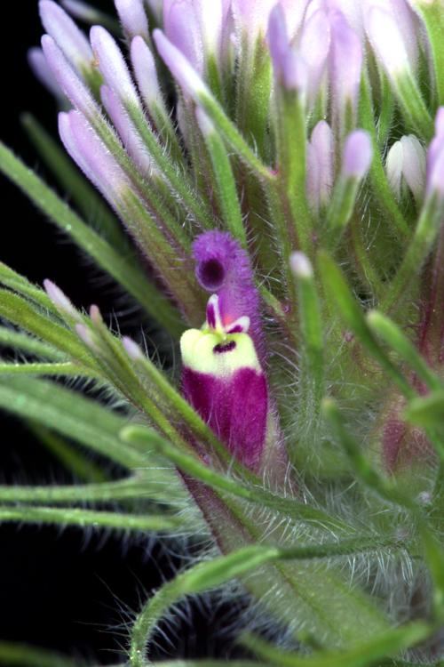 Castilleja exserta ssp. exserta